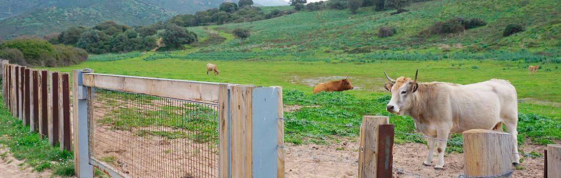 Vaches dans un champs du golfe de Lava